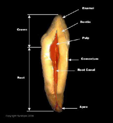 Tooth Cross Section 2